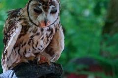 OwlatPicton2